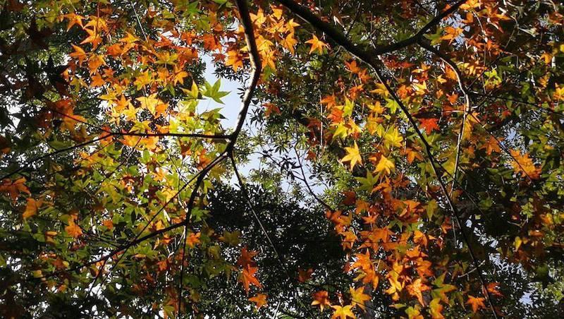 Alishan National Scenic Area,alishan autumn (9)