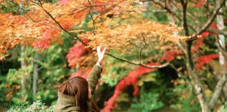 alishan autumn maple leaves