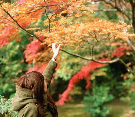 alishan autumn maple leaves