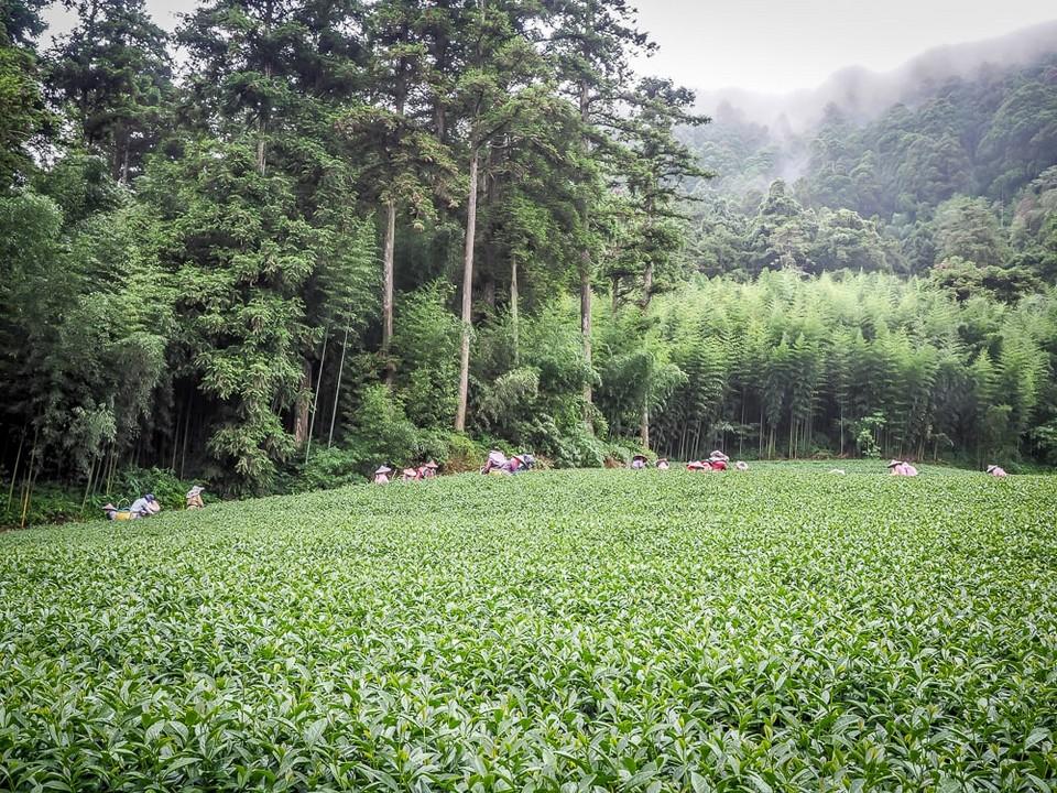 alishan-tea-field
