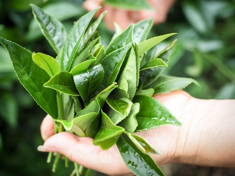 alishan-tea-leaves