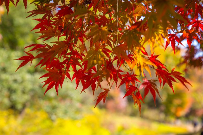 Showa Memorial Park (Showa Kinen Park) autumn, best autumn spots in tokyo (2)