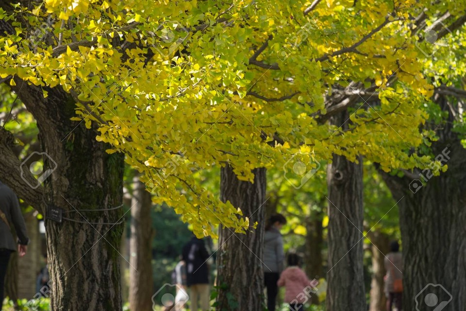 Ginkgo bunches at Showa Kinen Park