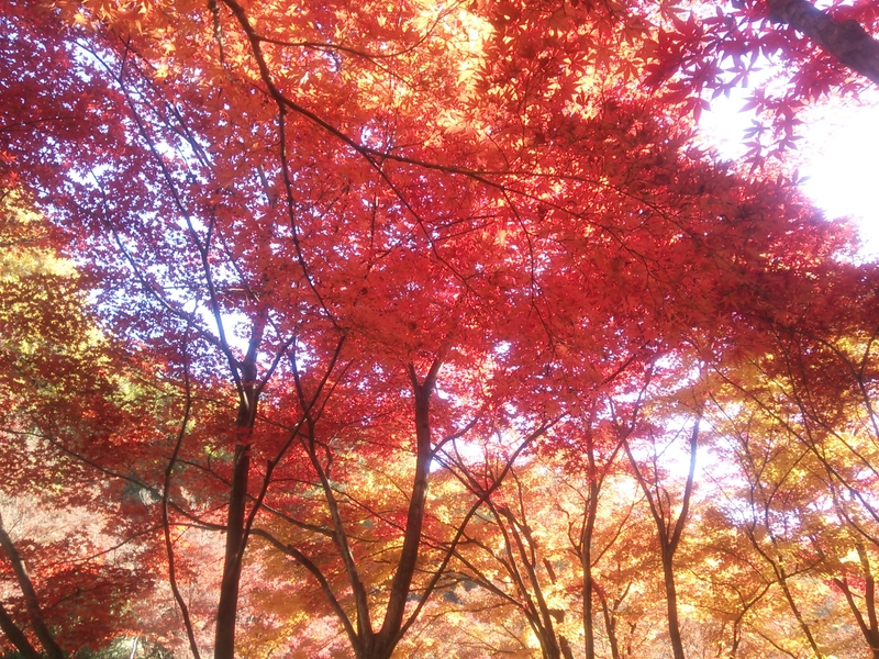 Ashikaga Flower Park autumn,best place to see autumn leaves in japan,best autumn spots in japan