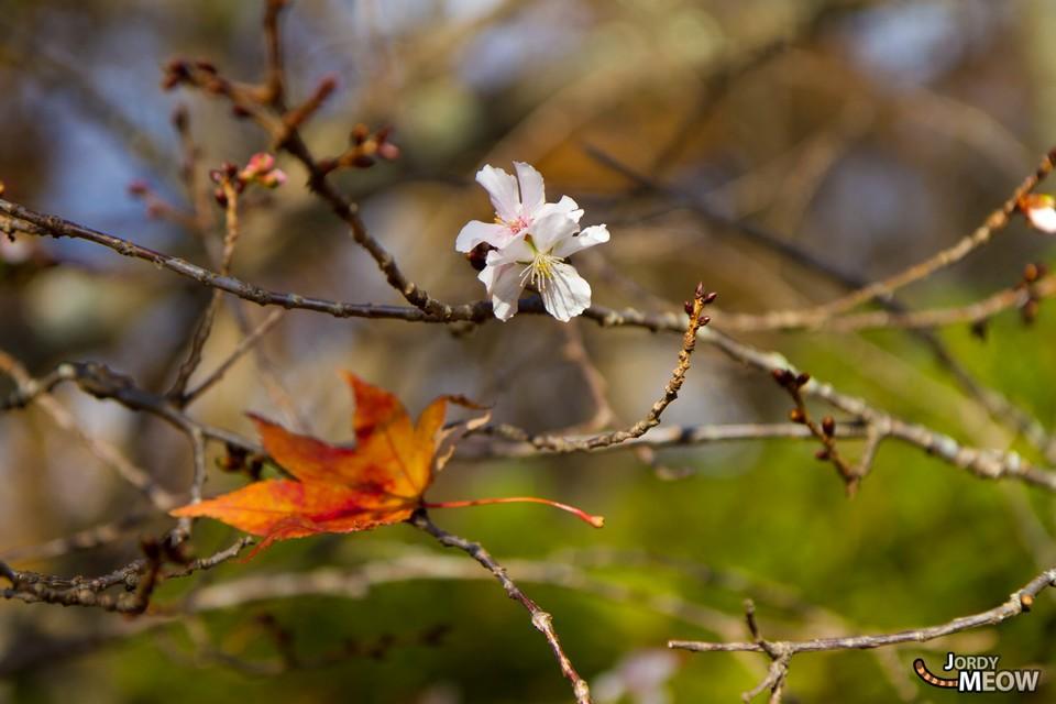 sakura-and-autumn-leave