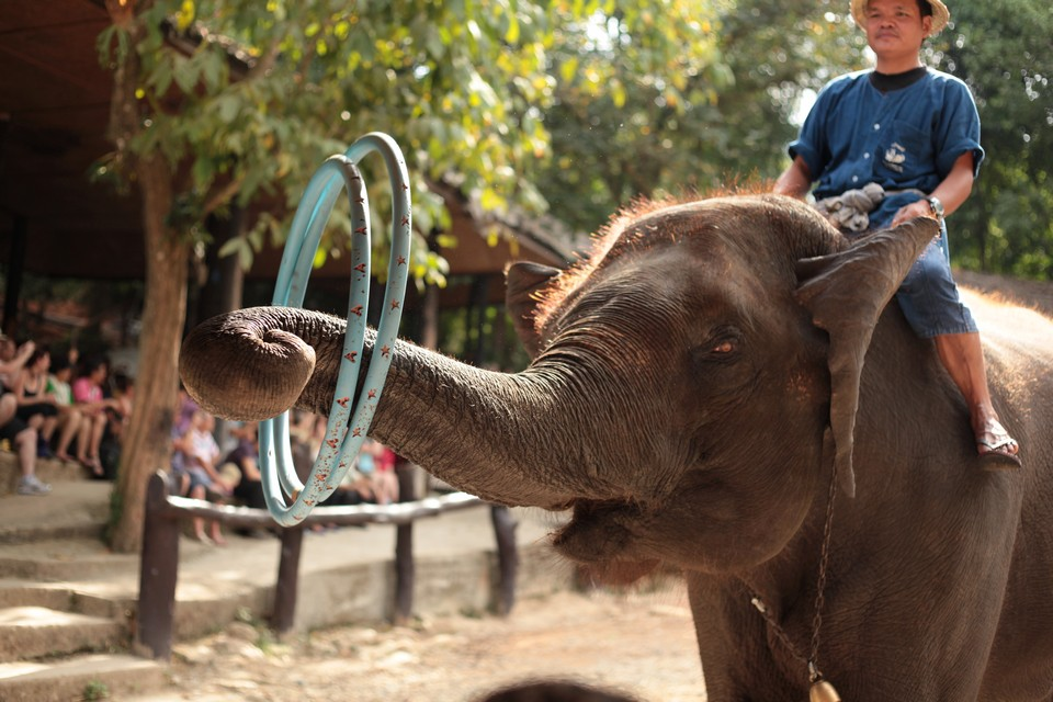 Where to go in Chiang Mai Maesa Elephant Camp (1)