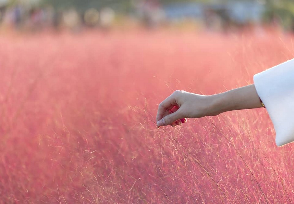 Cheomseongdae muhly pink grass (1)