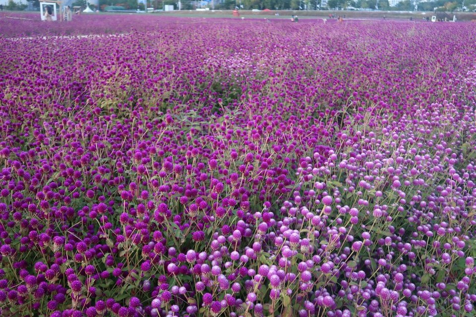 Globe Amaranth (Gomphrena globosa L.) in Nari park (1)