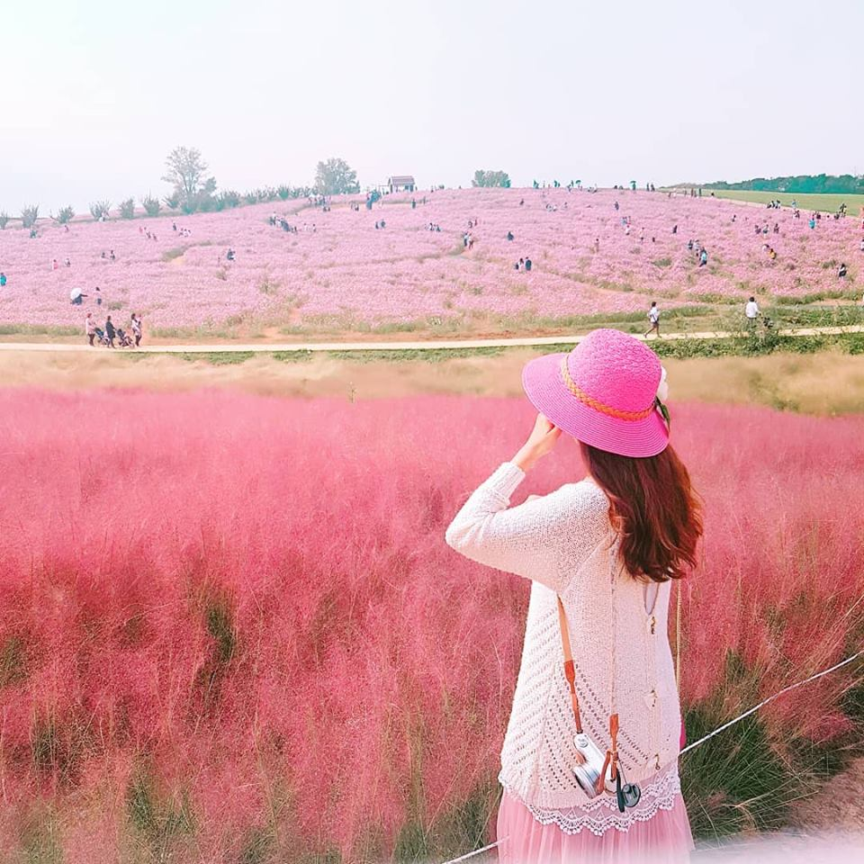 Gyeongju pink muhly grass Gyeongju (1)