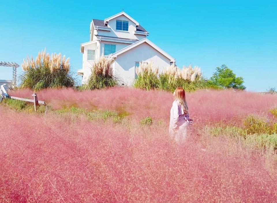 kitchen oz jeju island pink grass (1) - Living + Nomads – Travel tips, Guides, News & Information!