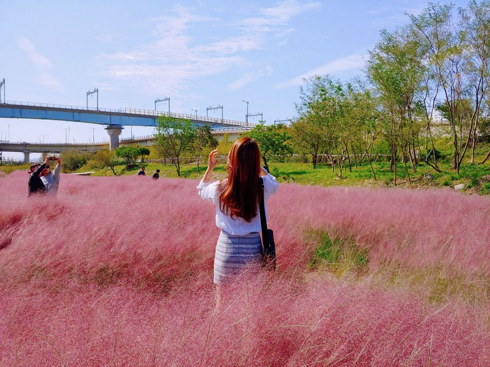 pink muhly grass korea
