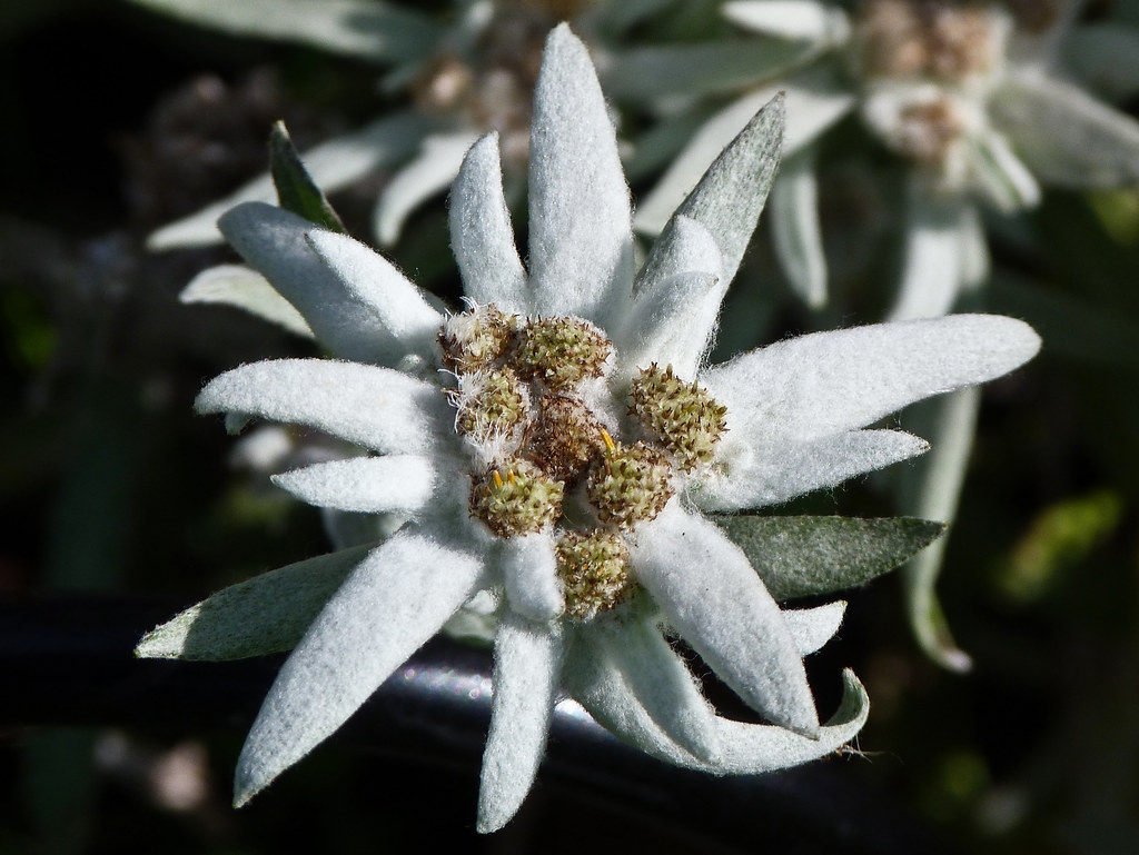 Leontopodium nivale, commonly called Edelweiss