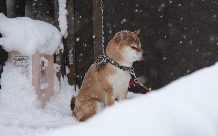 Shiba dog in Ginzan