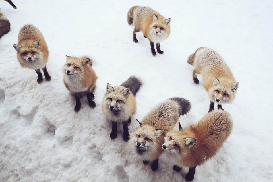 Are they the legendary snow fox