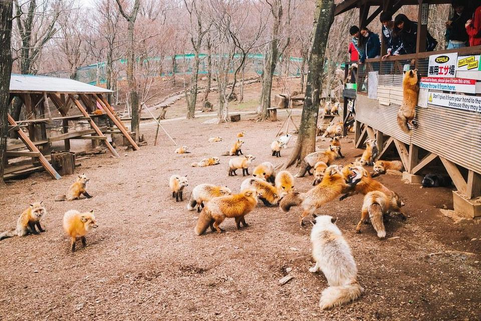 Playful zao foxes