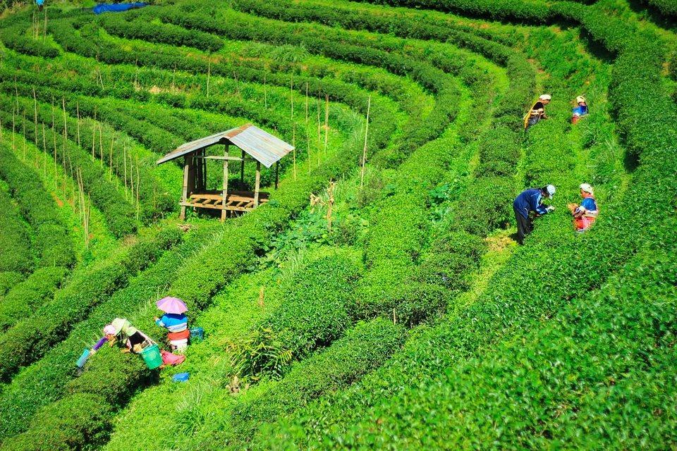 Tea Plantations, CHiang Rai, Thailand