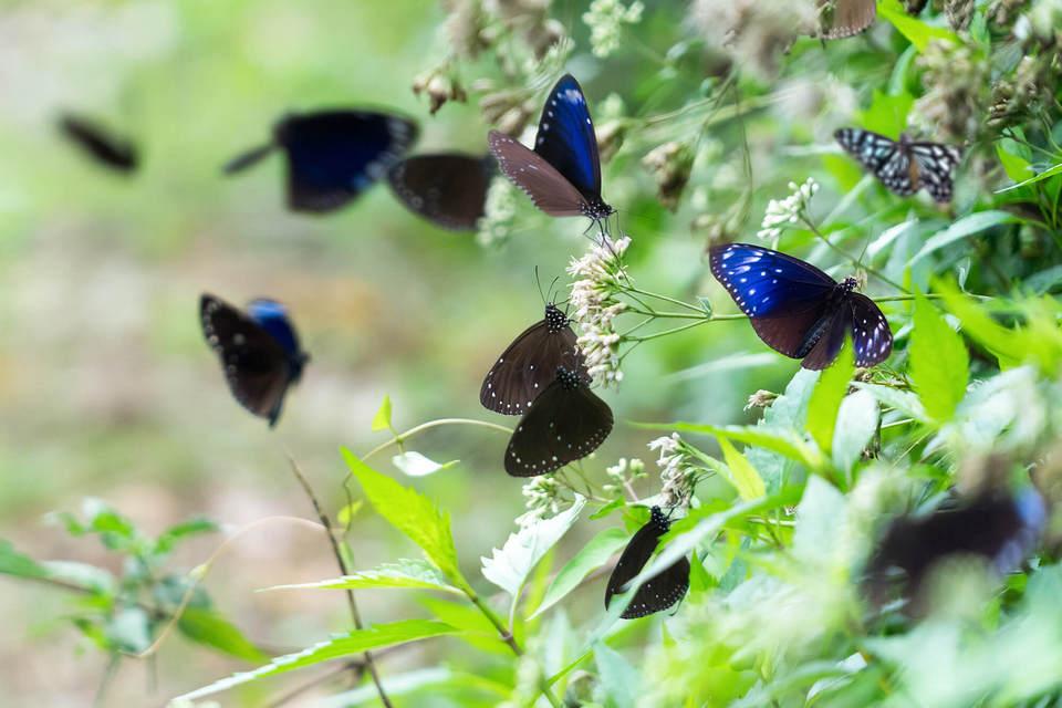 Butterflies in Butterfly Valley